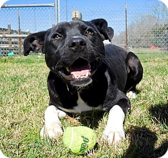 Labrador Retriever/Pit Bull Terrier Mix Dog for adoption in St. Francisville, Louisiana - Thor