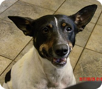 Rat Terrier/Terrier (Unknown Type, Small) Mix Dog for adoption in West Sand Lake, New York - Carly (31 lb) GREAT Family Pet
