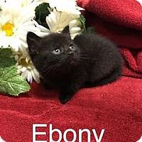 Adopt A Pet :: Ebony - Salem, WV