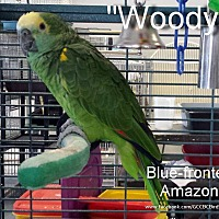 Adopt A Pet :: Woody - Villa Park, IL