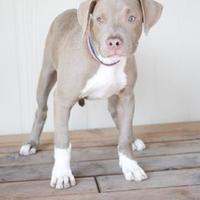 Adopt A Pet :: Ellie - Fresno, CA