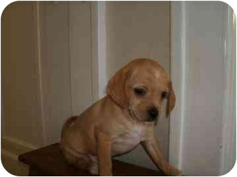 Pug Mix Puppy for adoption in Walker, Michigan - Big Red