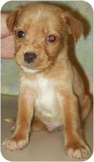 Rat Terrier/Cocker Spaniel Mix Puppy for adoption in North Judson, Indiana - Lefty
