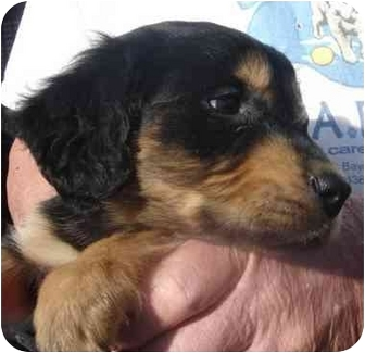 Golden Retriever/Rottweiler Mix Puppy for adoption in Old Bridge, New Jersey - Dasher