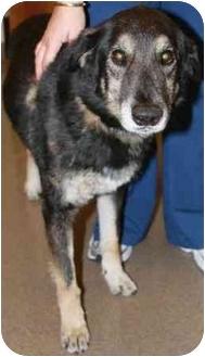 Australian Shepherd/German Shepherd Dog Mix Dog for adoption in Gilbert, Arizona - Navajo