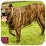 Photo 1 - American Pit Bull Terrier Mix Dog for adoption in Marina del Rey, California - Peanut