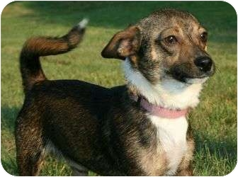 Jack Russell Terrier/Chihuahua Mix Dog for adoption in Portland, Maine - Tuxedo