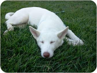 Siberian Husky Puppy for adoption in Apple valley, California - Jewel