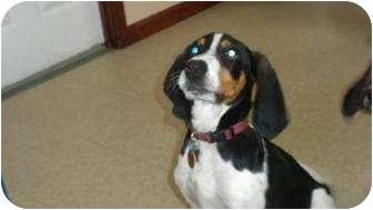 Treeing Walker Coonhound Mix Dog for adoption in Douglas, Massachusetts - Elvis