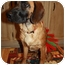 Photo 2 - Great Dane/Labrador Retriever Mix Puppy for adoption in Windham, New Hampshire - BLONDIE