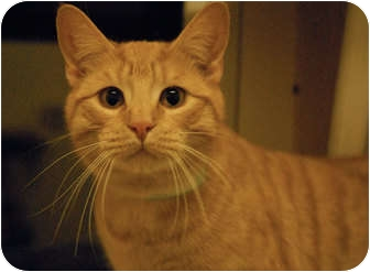 Domestic Shorthair Cat for adoption in Lunenburg, Massachusetts - Louie