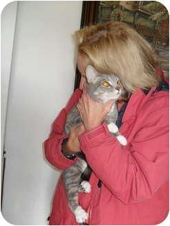 Siamese Kitten for adoption in Farmington, Michigan - Cammie Lin: Siamese / Bengal