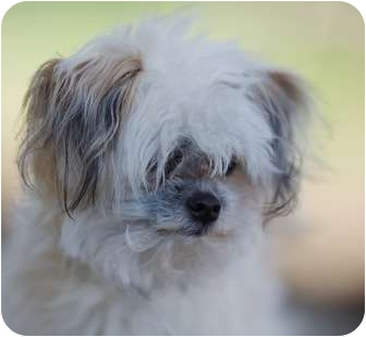 Pomeranian/Yorkie, Yorkshire Terrier Mix Dog for adoption in Providence, Rhode Island - Yogi