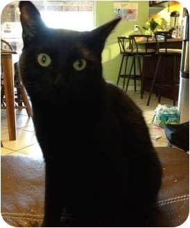 Domestic Shorthair Cat for adoption in Franklin, North Carolina - Maximus