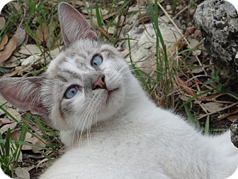 Siamese Cat for adoption in New Braunfels, Texas - Cooper