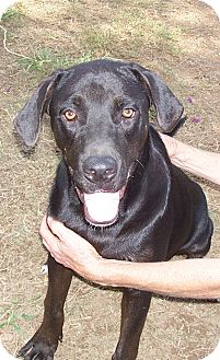 Labrador Retriever Mix Dog for adoption in Conway, Arkansas - Roy