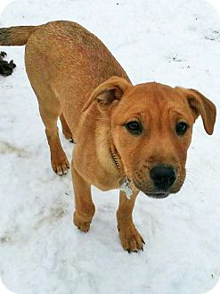 Labrador Retriever/American Staffordshire Terrier Mix Puppy for adoption in Detroit, Michigan - Kayla-Adopted!