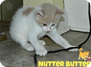 Domestic Shorthair Kitten for adoption in River Edge, New Jersey - Nutter Butter