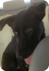 Shepherd (Unknown Type)/Border Collie Mix Dog for adoption in Overland Park, Kansas - MAIZY