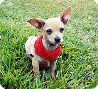 Chihuahua Puppy for adoption in Long Beach, California - TINY TILLY, SO PLAYYFUL
