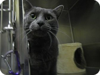 Russian Blue Cat for adoption in Edwards AFB, California - Enzo