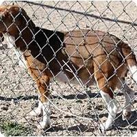 Adopt A Pet :: Liberty Belle - Phoenix, AZ