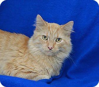 Domestic Longhair Cat for adoption in Coronado, California - Melvin