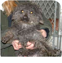 Poodle (Miniature) Mix Dog for adoption in Honesdale, Pennsylvania - Morgan