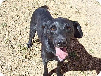 Labrador Retriever Mix Dog for adoption in Cripple Creek, Colorado - Ace