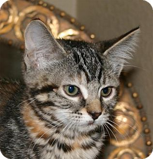 Domestic Mediumhair Kitten for adoption in Salem, Oregon - Juniper -foster