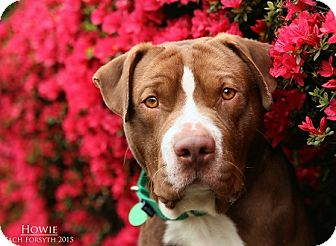 Pit Bull Terrier Mix Dog for adoption in Portland, Oregon - Howie