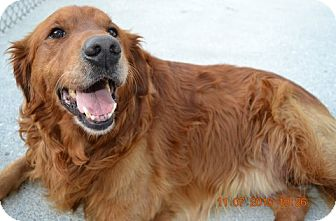 Golden Retriever Dog for adoption in Knoxville, Tennessee - Fletcher