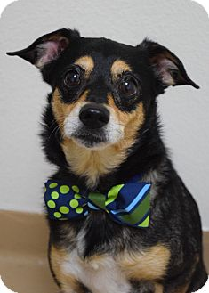 Chihuahua/Terrier (Unknown Type, Small) Mix Dog for adoption in Dublin, California - Calvin