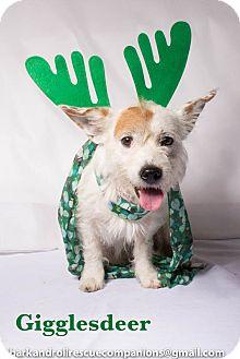 Westie, West Highland White Terrier/Shih Tzu Mix Dog for adoption in Baton Rouge, Louisiana - Giggles