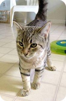 American Shorthair Kitten for adoption in Burgaw, North Carolina - Dex