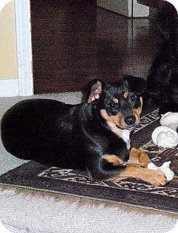 Miniature Pinscher/Dachshund Mix Dog for adoption in Lansing, Kansas - Dylan