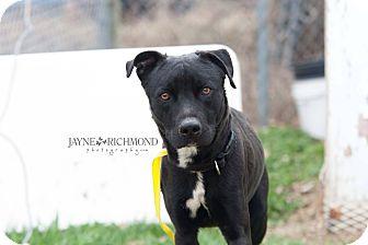 Labrador Retriever Mix Dog for adoption in Reed City, Michigan - WRANGLER