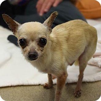 Chihuahua Mix Dog for adoption in Denver, Colorado - Bologna