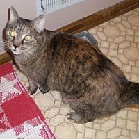 Domestic Mediumhair Cat for adoption in Columbus, Ohio - Callie