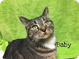 Domestic Shorthair Cat for adoption in Foothill Ranch, California - Baby