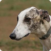 Adopt A Pet :: Zag - Portland, OR