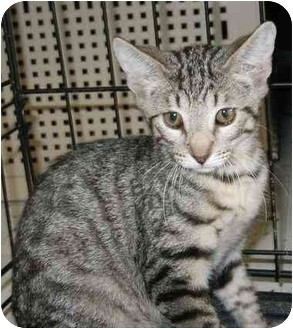Egyptian Mau Kitten for adoption in Cocoa, Florida - Marlow Mau Mix