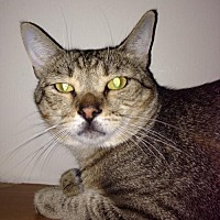 Manx Cat for adoption in Baton Rouge, Louisiana - Nubby
