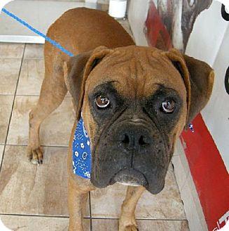 Boxer Dog for adoption in Houston, Texas - PAULIE