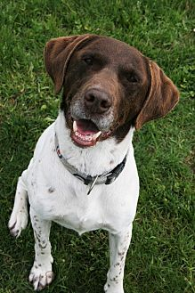 German Shorthaired Pointer Mix Dog for adoption in Lake Odessa, Michigan - Dutch