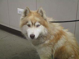 Husky Mix Dog for adoption in Colfax, Illinois - Apache