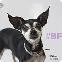 Adopt A Pet :: CHLOE - Camarillo, CA