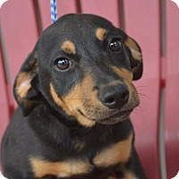 Adopt A Pet :: PHARO - New Iberia, LA