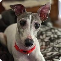Adopt A Pet :: Adore-ADOPTION PENDING - Bridgeton, MO
