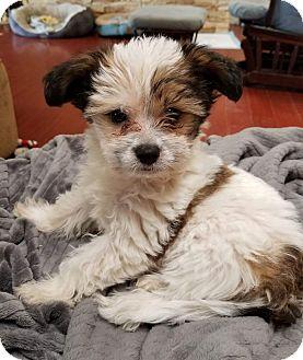 Shih Tzu/Yorkie, Yorkshire Terrier Mix Puppy for adoption in San Diego, California - Phantom